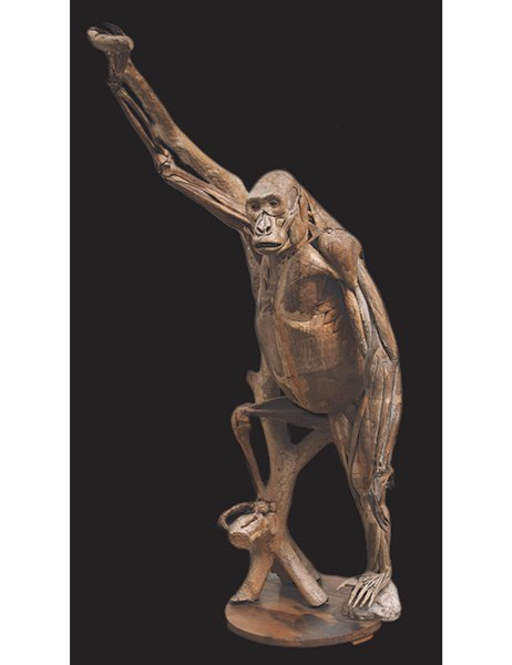 In 1863 French doctor Louis Thomas Jérôme Auzoux created a life-size model of an African gorilla as an anatomical and anthropological teaching tool for students at Paris's École de Médecine. Made of papier-mâché and modeled after a specimen captured in Gabon, Auzoux's original prototype is being offered by Peter Petrou Works of Art for approximately $260,000.